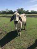 Конец коровы Brahma вверх стоковое фото