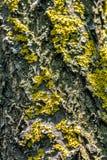 Конец коры дерева абрикоса вверх Стоковая Фотография RF