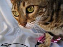 Конец кота Бенгалии вверх с пышными глазами на светлой предпосылке Стоковые Изображения RF