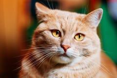 Конец котенка кота оранжевого красного цвета мужской вверх по портрету стоковое фото