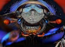 Конец stercorosus Anoplotrupes вверх стоковое изображение