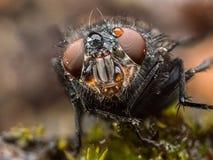 Конец крайности мухы дома вверх по макросу Стоковые Изображения RF