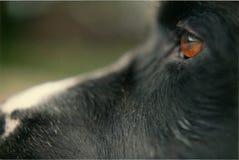 Конец крайности стороны и глаза черной собаки вверх Стоковая Фотография RF