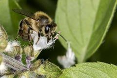 Конец крайности цветка базилика пчелы опыляя вверх Стоковые Фотографии RF