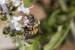 Конец крайности цветка базилика пчелы опыляя вверх Стоковые Изображения