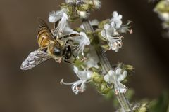 Конец крайности цветка базилика пчелы опыляя вверх Стоковая Фотография