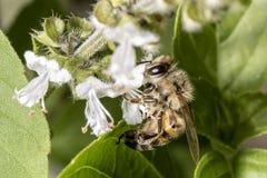 Конец крайности цветка базилика пчелы опыляя вверх Стоковое Изображение RF