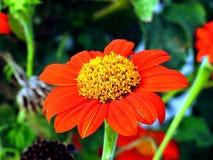 Конец красного цвета цветка вверх Стоковые Фото
