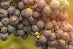 Конец красной виноградины вверх в винограднике во время осени Стоковые Фото
