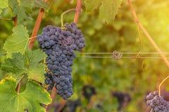 Конец красной виноградины вверх в винограднике во время осени Стоковая Фотография
