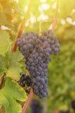 Конец красной виноградины вверх в винограднике во время осени Стоковое Изображение