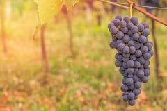 Конец красной виноградины вверх в винограднике во время осени Стоковая Фотография RF