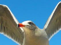 Конец крыльев голубого неба мухы чайки открытый вверх по оранжевому клюву стоковое изображение rf