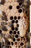 Конец клетки ферзя пчелы меда вверх Стоковые Фотографии RF