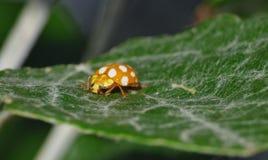 Конец макроса вверх снятый ladybird/ladybug в саде, фото принятого в Великобританию стоковое изображение rf