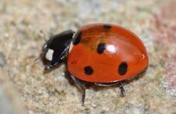 Конец макроса вверх снятый ladybird/ladybug в саде, фото принятого в Великобританию стоковые изображения
