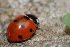 Конец макроса вверх снятый ladybird/ladybug в саде, фото принятого в Великобританию стоковое фото