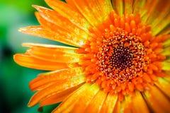 Конец маргаритки Gerbera вверх по текстуре макроса Стоковое Фото