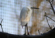 Конец маленького egret Стоковая Фотография RF