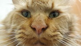 Конец намордника кота вверх стоковая фотография rf