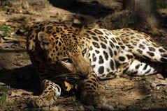 Конец отдыхая ягуара Стоковое Фото