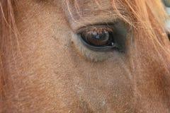 Конец лошади Brown вверх Стоковые Изображения