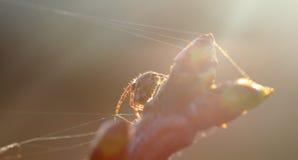 Конец паука Брайна вверх Стоковая Фотография RF