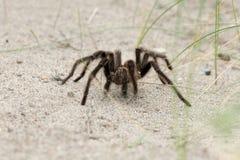 Конец паука тарантула на предпосылке песка стоковое изображение rf
