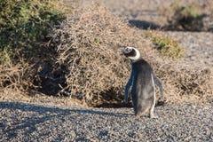 Конец пингвина Патагонии вверх по портрету на пляже Стоковые Фотографии RF