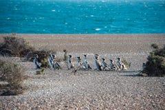 Конец пингвина Патагонии вверх по портрету Стоковые Изображения