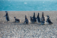 Конец пингвина Патагонии вверх по портрету Стоковые Изображения RF