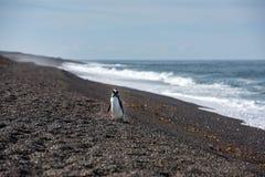 Конец пингвина Патагонии младенца вверх по портрету Стоковые Изображения