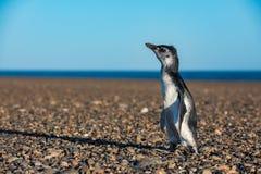 Конец пингвина Патагонии младенца вверх по портрету Стоковая Фотография