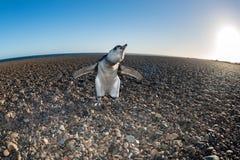 Конец пингвина Патагонии младенца вверх по портрету Стоковое Фото
