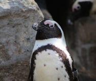 Конец пингвина Humbolt Стоковая Фотография