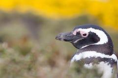 Конец пингвина Magellanic вверх по портрету Стоковая Фотография
