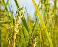 Конец поля риса вверх стоковые изображения rf