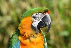 Конец попугая ары арлекина вверх стоковая фотография