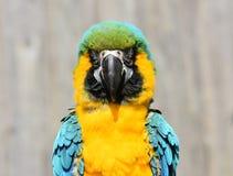 Конец попугая сини и золота/ары желтого цвета вверх стоковые изображения rf
