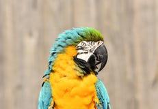 Конец попугая сини и золота/ары желтого цвета вверх стоковые изображения