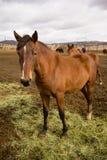 Конец портрета дикой лошади стоящий вверх по американскому животному Стоковые Изображения RF