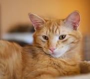 Конец портрета кота вверх в расплывчатой предпосылке и с селективным фокусом Стоковые Изображения