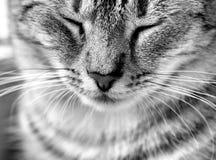 Конец портрета кота вверх в черно-белом фото Сторона кота портрет старший y kuzia o 12 котов Стоковые Изображения