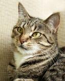 Конец портрета кота вверх, головной урожай, смотря прямо, кот в свете - предпосылке голубого серого цвета смотря с признавать взг Стоковые Изображения