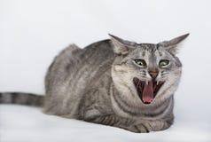 Конец портрета кота вверх, изумительный портрет сердитого кота Стоковое Фото