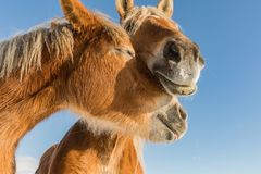 Конец портрета 2 лошадей вверх в любов, любов лошади, богемской-Moravian бельгийской лошади в солнечном дне взгляд городка респуб стоковые изображения