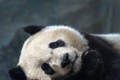 Конец портрета младенца гигантской панды newborn вверх пока спящ Стоковые Изображения