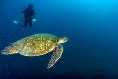 Конец портрета морской черепахи вверх пока смотрящ вас Стоковая Фотография RF