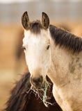 Конец портрета стороны дикой лошади вверх по американскому животному Стоковые Изображения RF