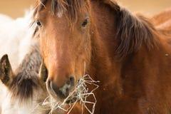Конец портрета стороны дикой лошади вверх по американскому животному Стоковое Фото